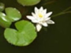 image of white water lilly